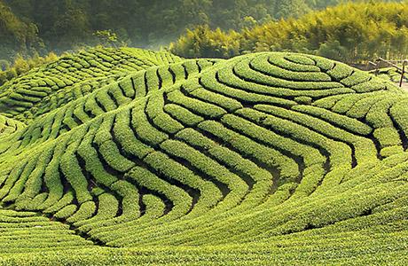 China Tea Fields