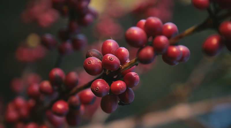 Ethical Sourcing of Coffee Beans