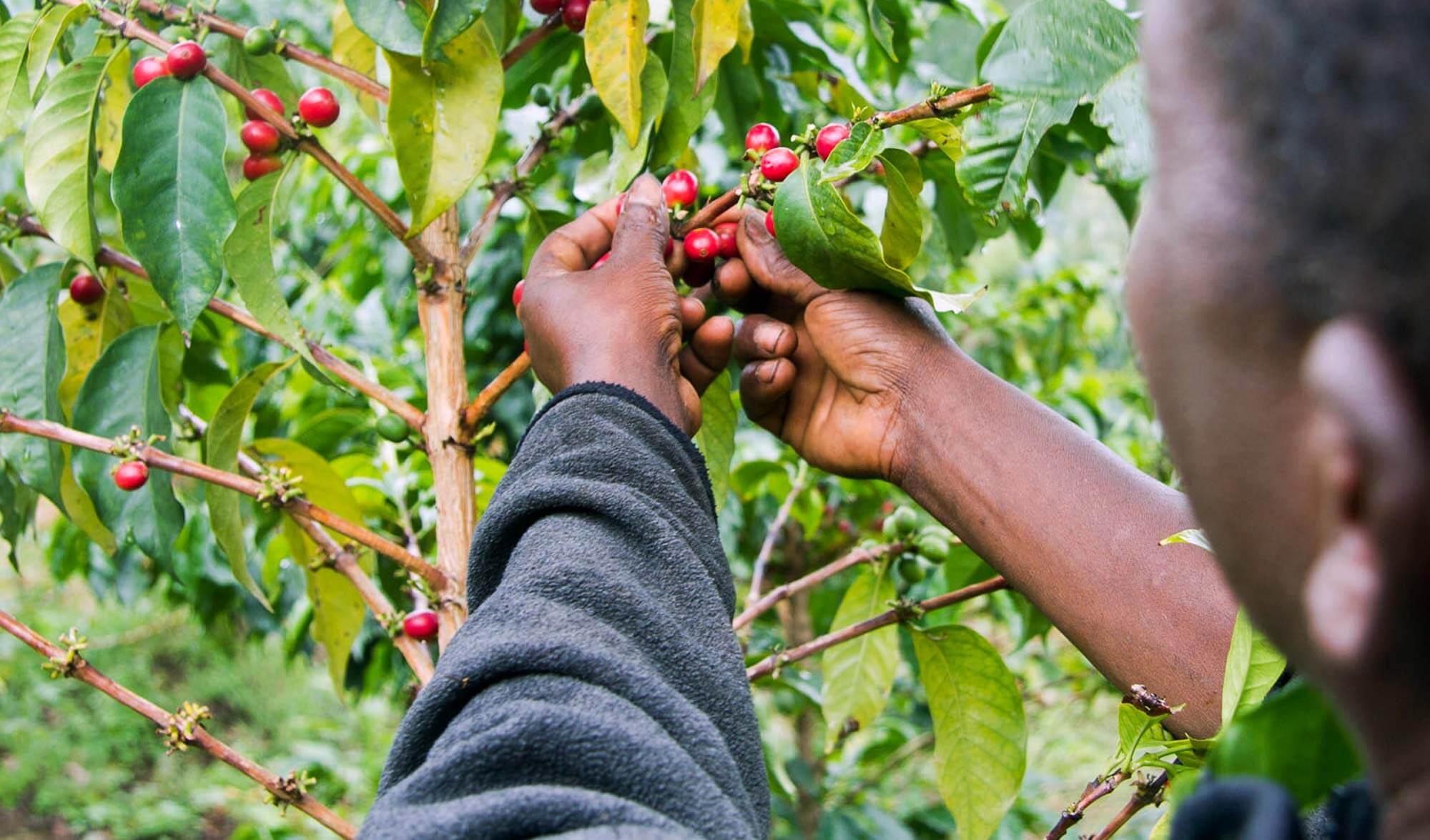 bean-picking-rwanda