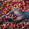 hand-holding-coffee-cherries