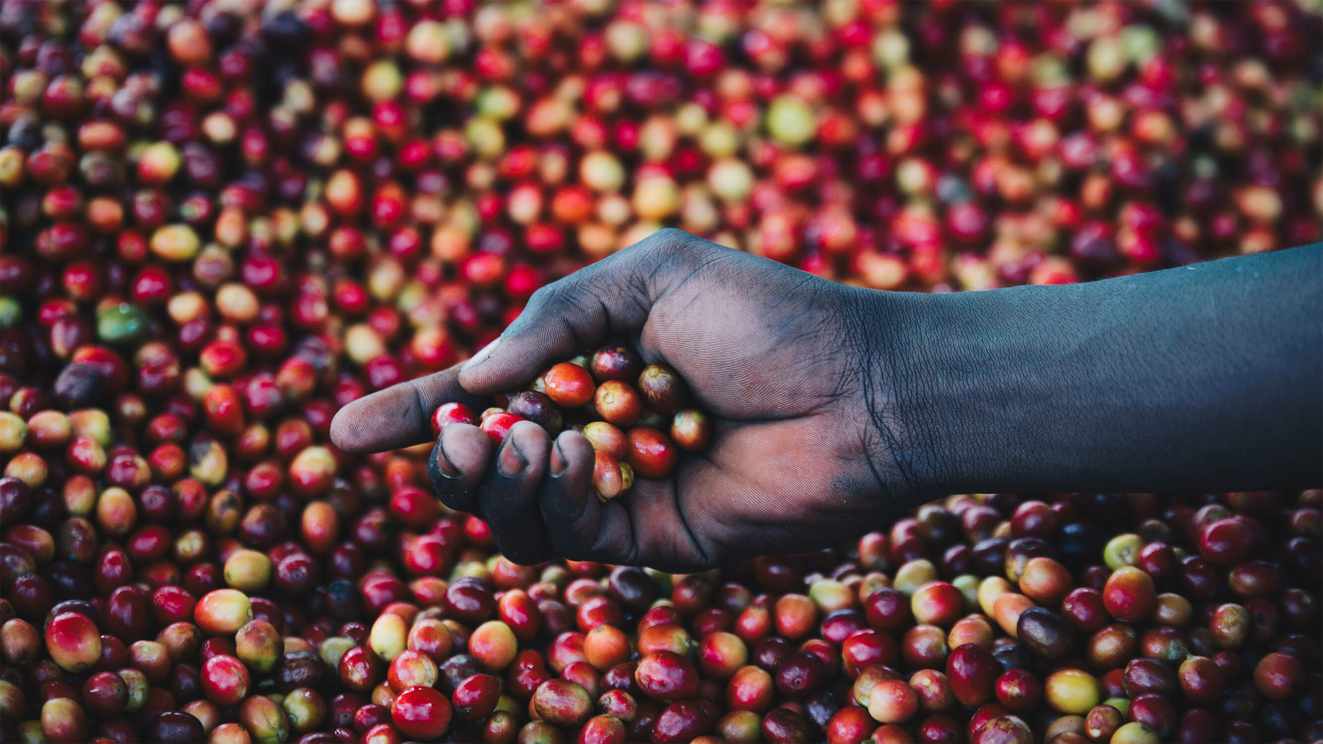hand-holding-coffee-cherries